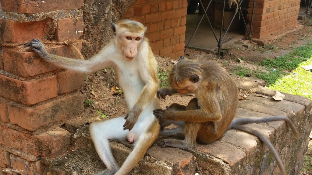 Affen in Sri Lanka