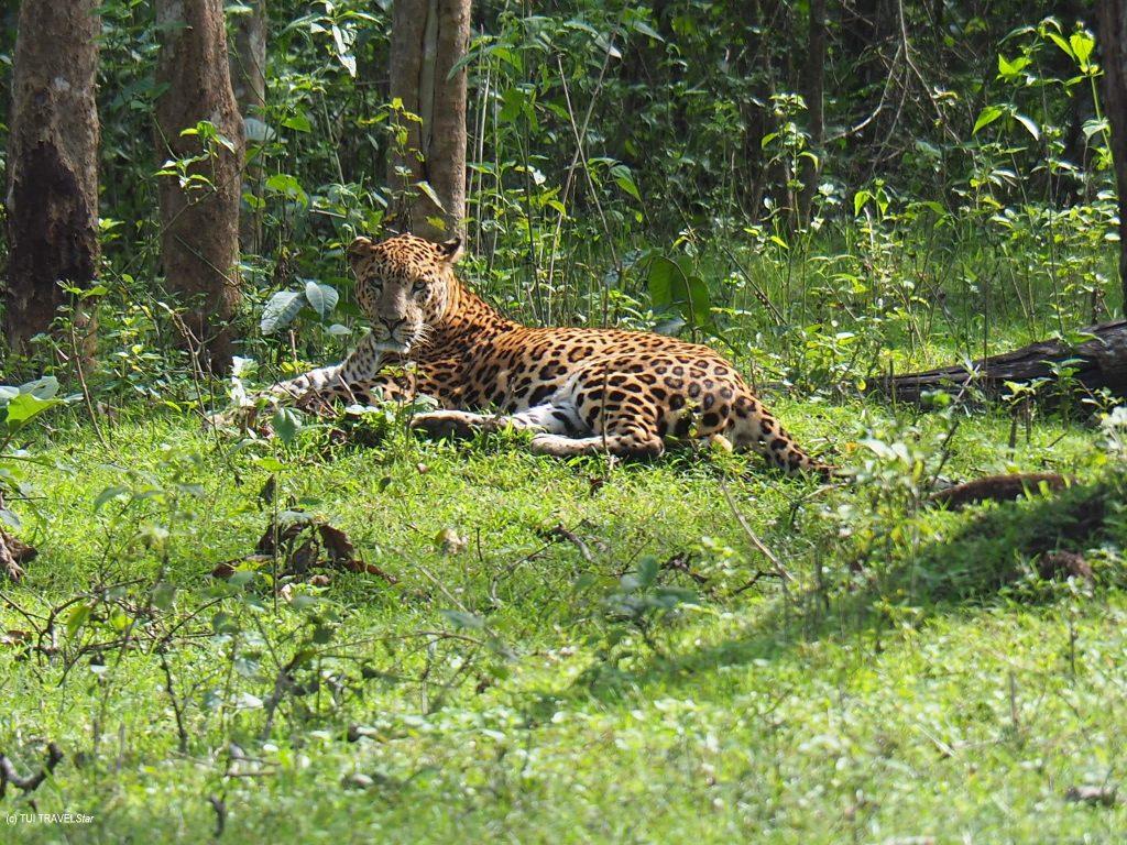 Leopard in Indien