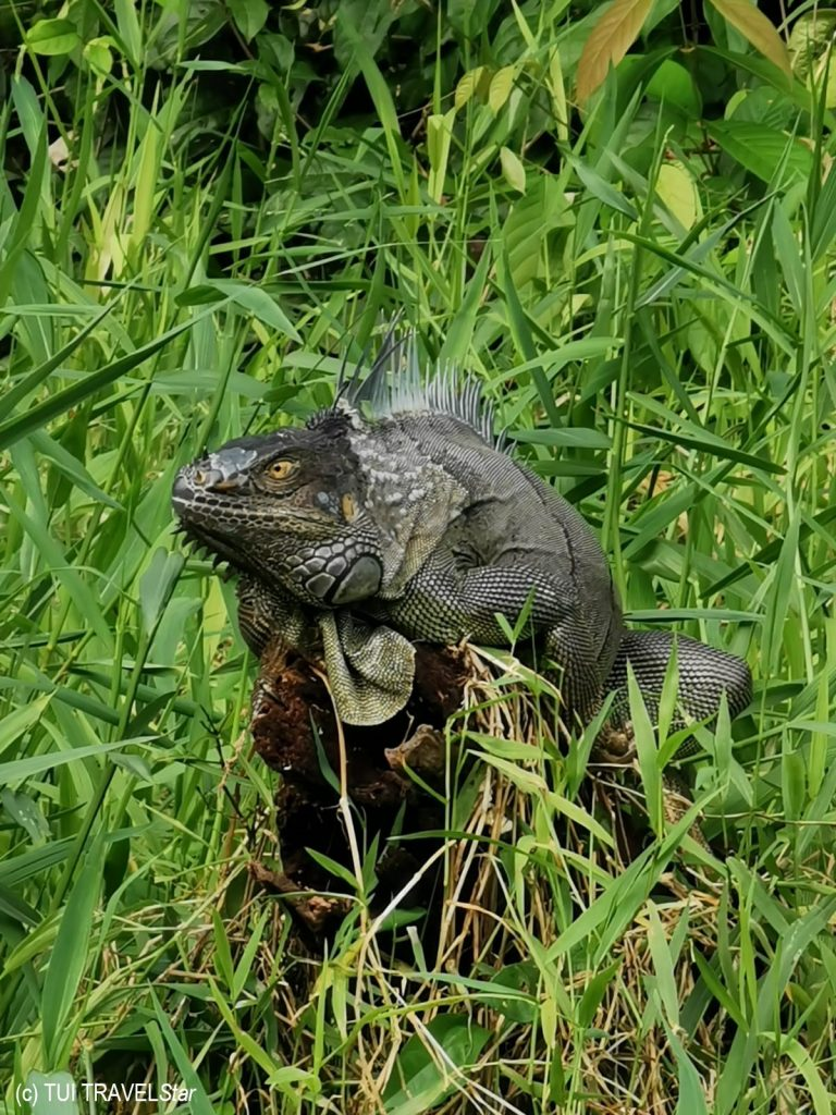 Costa Rica Leguan