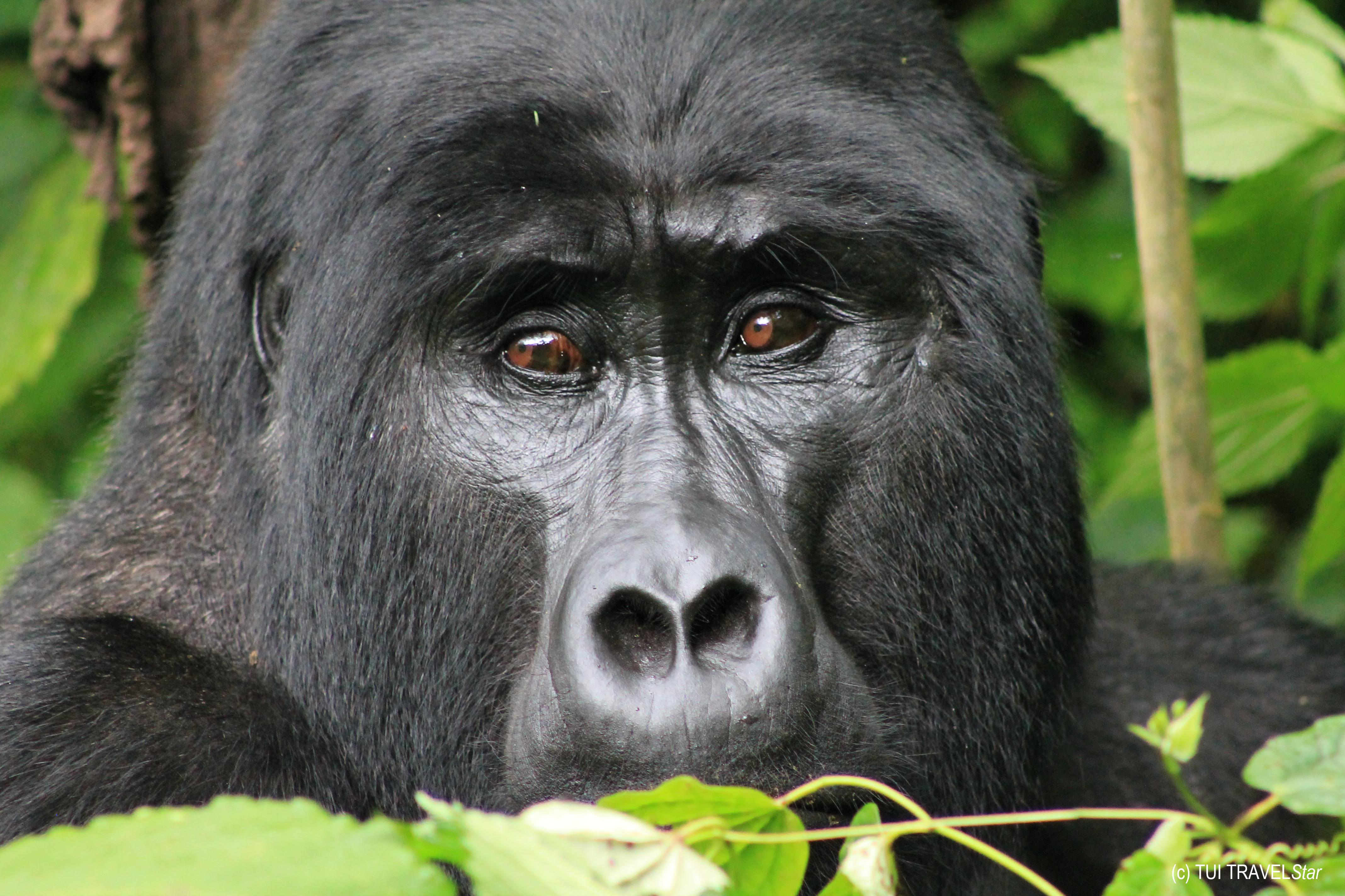 Uganda – Auge in Auge mit den letzten Berggorillas