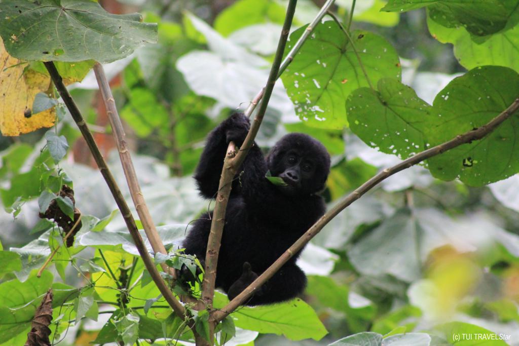 Uganda Kleiner Gorilla